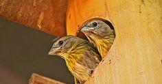 Ninhos artificiais salvam as aves de Ribeirão Bonito, em São Paulo
