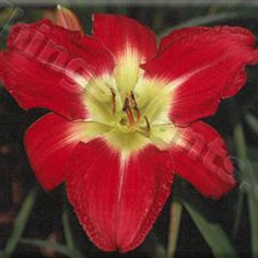 Zoro's Blade (Shooter-F., 2001) height 33in (84cm), bloom 6in (15.0cm), season M, Rebloom, Semi-Evergreen, Tetraploid, 20 buds, 4 branches,  Cardinal red diamond dusted with faint watermark and deep red veins above small chartreuse throat. Marietta Daylily Gardens