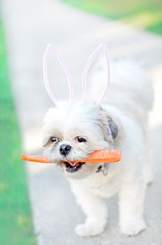DIY: 2 Minute Bunny Ears - Fun and Easy Way to include your dog in the Halloween or Easter festivities! Pet Photography Tips, Animal Photography, Diy Dog Collar, Best Dog Photos, Diy Dog Bed, Shih Tzu Dog, Dog Costumes, Costume Ideas, Dog Birthday