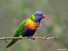 This image was sold today @ fotolia by Adobe Rainbow lorikeet (Trichoglossus moluccanus) #Bird #Wildlife https://eu.fotolia.com/id/112447386