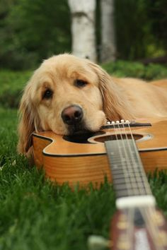 two of my favorite things, guitars and golden retrievers