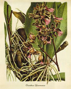 Orchid antique Botanical Art Prints Victorian by AntiqueWallArt, $10.00