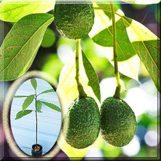 Persea Americana Hass Avocado Tree Alligator Lauraceae A Potted Plant Hass Avocado Tree, Avocado Seed, Partial Shade Plants, Full Sun Plants, Bulbs For Sale, Home Garden Plants, Planting Seeds, Tropical Plants, Yellow Flowers
