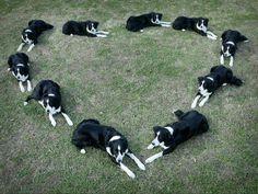 Border Collie Love ~