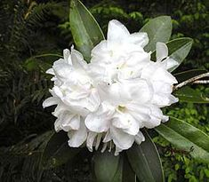 Rhododendron 'Queen Anne's'