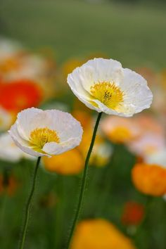 Poppy por Yorkey & amp; Rin