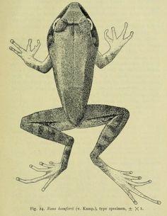 Fig. 14. Rana beauforti. The amphibia of the Indo-Australian archipelago. 1923.