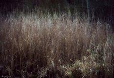reeds by LisaJLangrish, via Flickr