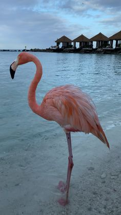 Aruba Flamingos, Flamingo Beach Aruba, Pink Flamingos, Beautiful Ocean, Beautiful Birds, Animals Beautiful, Summer Captions, Animals And Pets, Cute Animals