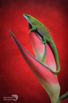 "funkysafari: "" Day gecko on heliconia by AngiWallace "" Wildlife Nature, Nature Animals, Crocodiles, Alligators, Good Buddy, Reptiles And Amphibians, Tortoises, Flora And Fauna, Animals Beautiful"