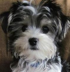 Home breeder of Red toy poodles, Maltese and shih tzu. We also have the occasional maltipoo, malshi and morkie litters as well. Shorkie Puppies, Biewer Yorkie, Maltipoo Dog, Yorkie Puppy, Cute Puppies, Cute Dogs, Poodle Mix, Maltese Poodle, Lap Dogs