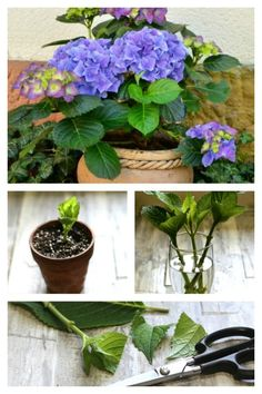 propagating hydrangeas from cuttings Hydrangea Care, Hydrangea Flower, Growing Hydrangea, How To Grow Hydrangeas, Beautiful Gardens, Beautiful Flowers, Propagating Hydrangeas, Pinterest Garden, Garden Care