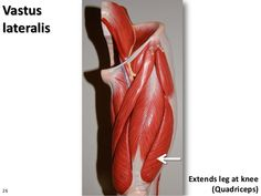 Vastus lateralis Extends leg at knee (Quadriceps)26