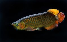 arrowana fish pictures | With this time period which is rumored to promote and enhances their ...