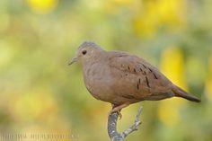 mis fotos de aves: Columbina talpacoti Torcacita colorada Ruddy groun...