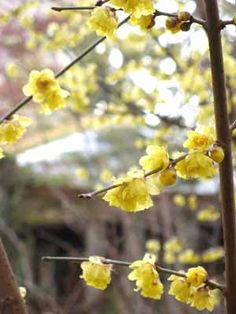 Chimonanthus praecox A native garden shrub valued primarily for its late winter bloom of highly fragrant soft yellow flowers along the bare branches when virtually nothing else is blooming in the landscape