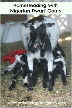 Homesteading with Nigerian Dwarf Goats
