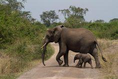 Elephants, Queen Elizabeth National Park, Uganda