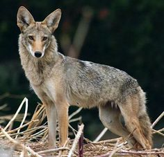 Coywolf  - coyote / wolf cross naturally in the wild