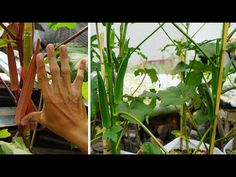 Growing Okra, Grow Food, Sacks, Recycling, Gardening, Youtube, Plants, Free, Lawn And Garden
