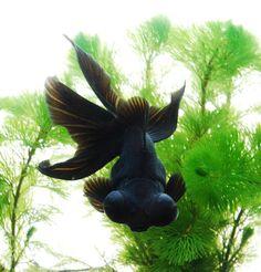 Gold Fish-Black Moore... Someone killed mine!   @Denise H. H. grant Boyd  I loved him! Rip rinko! Lol