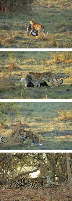 Tailormade African Safaris - Leopard kills Crowned Crane Kafue National Park in Zambia