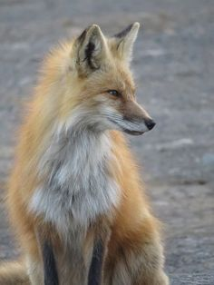 Red Fox by Breanne Jahn - National Geographic Your Shot
