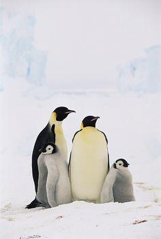 Emperor Penguin Family by Konrad Wothe