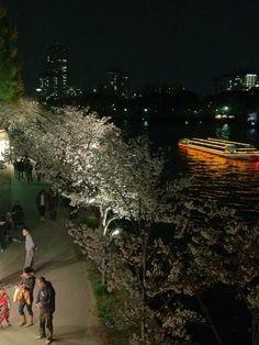 Yozakura (cherry blossoms in the night).