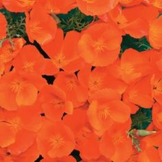 Seeds to sew / Copper Pot Spring Hill Nursery, Copper Pots, California Poppy, Annual Flowers, Copper Color, Flower Seeds, Amazing Art, Perennials, Poppies