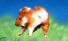 """Popcorning"" Guinea Pig (jumps and leaps they do when excited)"