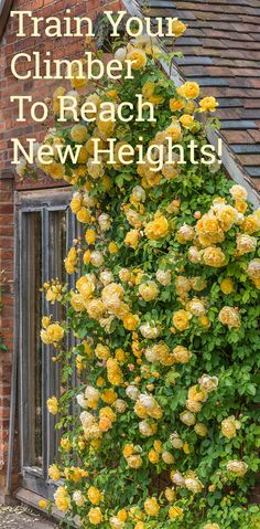 roses garden care Train your climbing rose to reach new heights! Climbing Roses, Rose Trellis, Rose Care, Heirloom Roses, Growing Roses, Garden Care, Lawn Care, Beautiful Roses, Gardens