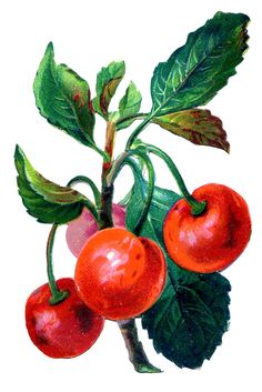 Vintage Fruit Graphic - Cherries