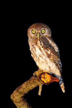 Pearl spotted owlet in Pretoriuskop Nocturnal Animals, Animals And Pets, Night Photography, Wildlife Photography, Kruger National Park, National Parks, Male Lion, Game Reserve