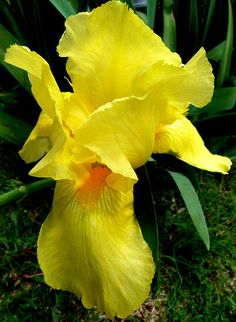 """Yellow Flag"" Iris"