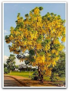 A chuva-de-ouro é uma árvore ornamental decídua, de floração espetacular, com seus belos cachos pendentes de flores douradas.   De porte médio e crescimento rápido, ela alcança cerca de 5 a 10 metros de altura. Seu tronco é elegante.   A copa é arredondada, com cerca de 4 metros de diâmetro.