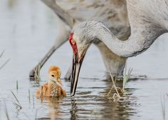 Did you know that sandhill crane chicks can leave the nest on their own within 8 hours?