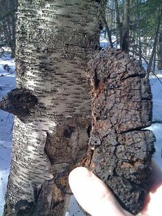 """Chaga, the """"mushroom of immortality,"""" is packed with antioxidants and cancer-fighting properties. This wild fungus can even heal the birch trees on which it grows."""