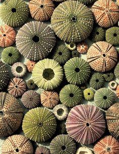 Inspiratiebeeld Colours and Textures/Kleuren en Texturen Sea Urchin Shell, Sea Shells, Sea Urchins, Patterns In Nature, Textures Patterns, Nature Pattern, In Natura, Natural Forms, Natural Shapes