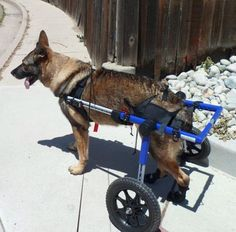 Helping Pets With A Mobility Handicap with Pet Wheelchairs
