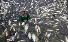 Pescador recolhe tilápias em fazenda de peixes em Samut, na Tailândia