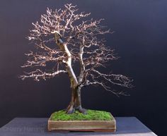 European Hornbeam (Carpinus Betulus) Bonsai, Informal Upright style (Moyogi).