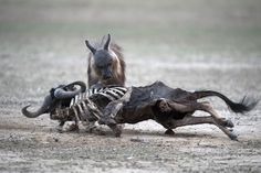 Brown hyena caught in the act in Kgalagadi Transfrontier Park ©Johan Mocke