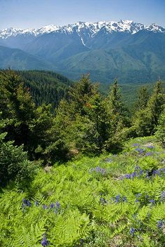 Ferns and Mountain Lupine  -  Hurricane Ridge Trail, Olympic National Park, Washington   USA
