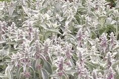Stachys thirkei. A compact species for borders, fround cover. does not collapse like tall varieties. 20cm. FS. frost and drought tolerant. winter flowering.