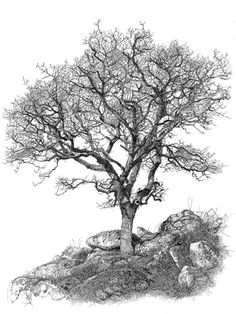 Dartmoor Oak print 23 cm x 29 cm Ink Pen Drawings, Realistic Drawings, Tree Sketches, Drawing Sketches, Pencil Trees, Dartmoor, Landscape Drawings, Landscapes, Urban Sketching