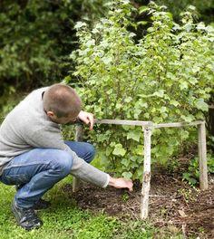 Gallra vinbärsbusken genom att skära av några äldre grenar ända nere vid marken.