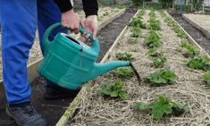 Toto poraďte každému záhradkárovi: O takej úrode jahôd sa vám ani nesnívalo! Watering Can, Canning, Gardening, Garten, Home Canning, Lawn And Garden, Horticulture