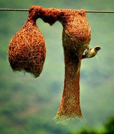 Baya Weaver Building a Beautiful Castle..!!!