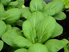 Most Oriental brassicas vegetables are called Chinese Cabbage in the West. There are many kinds of Chinese Cabbages, that can be grouped based on size, shape, heading and non-heading. Chinese cabbages are excellent for stir-fry and pickling. This is the picture of Green Baby Pak Choy is one of the most popular vegetables grown and sold in the supermarkets on the West Coast and Orient. This fast-growing vegetable has tender green leaves and crispy green petioles.